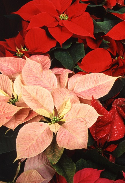 Caring For Poinsettia Plants North Carolina Cooperative Extension