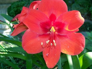 Cover photo for Growing Amaryllis Indoors and Out