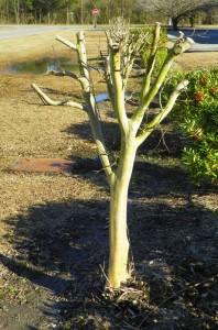 Incorrectly pruned crape myrtle