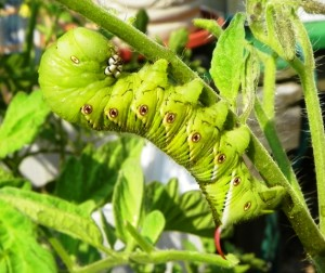 Cover photo for What Is Eating My Tomato Plant?