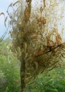 Fall webworms