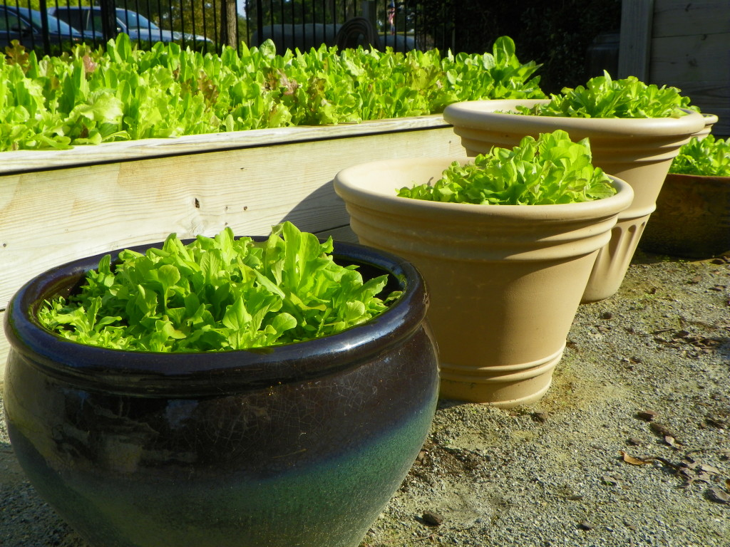 Take the year round gardening challenge north carolina cooperative extension for North carolina vegetable gardening