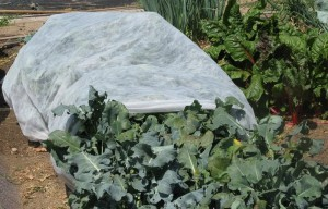 Cover photo for Protecting Garden and Landscape Plants During Cold Weather