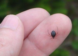 cinara aphid on a person's finger.
