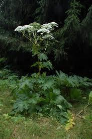 Image of giant hogweed
