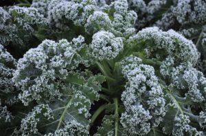 Frost on Kale