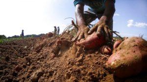 A pair of hands digging up a sweet potato
