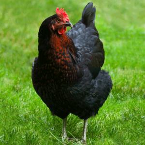 Black Star Sex-Link Chicken