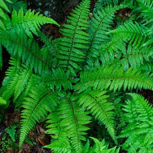 Cover photo for Christmas Ferns - More Than Decoration