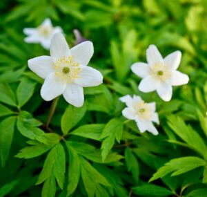 Cover photo for Native Plant:  Wood Anemone
