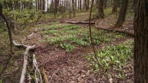 ramps growing in the woods